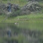 Goose in Upper Pond