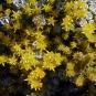 Broadleaf Stonecrop (Sedum spathulifolium)