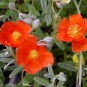 Henfield Brilliant Rock Rose (Helianthemum 'Henfield Brilliant')
