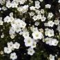Mountain Sandwort (Arenaria montana)