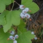 Western Red Currant (Ribes cereum)