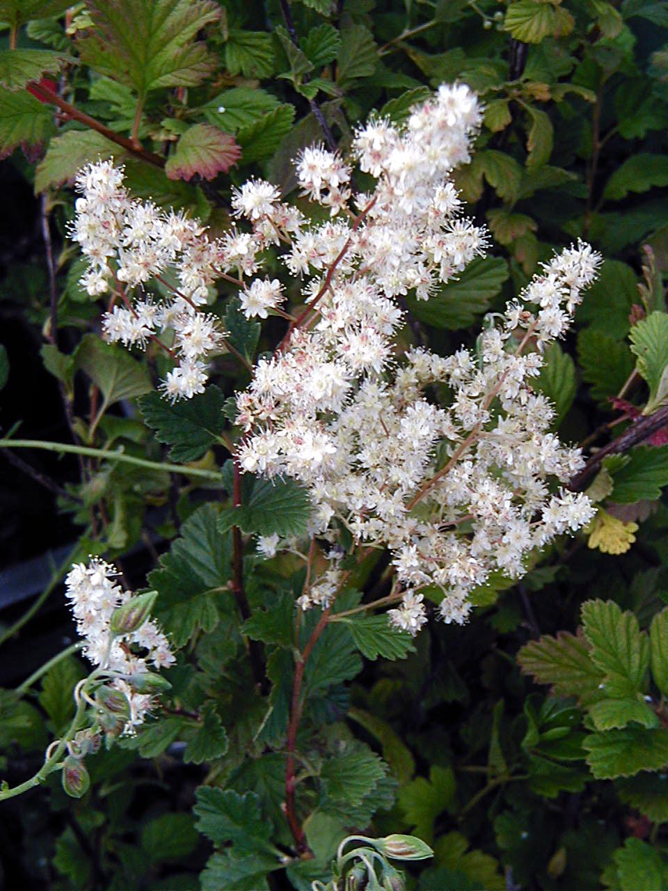 Garden Bush: Western Native Plant Garden